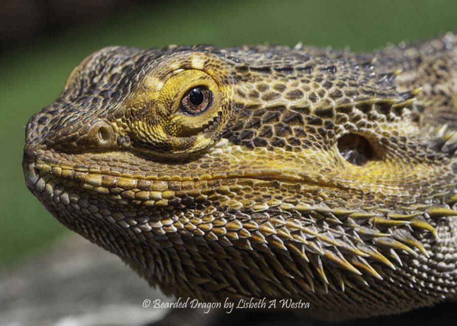 Bearded Dragon by Lisbeth A Westra