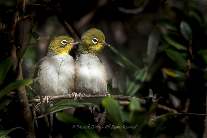 Silvereyes by Merrick Bailey