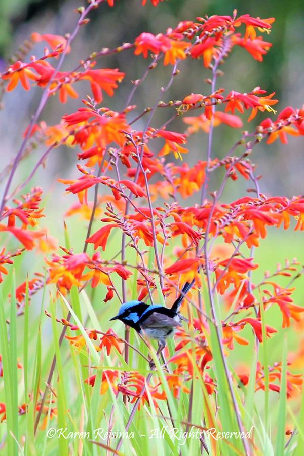 Blue Fairy wren by Karen Reisima