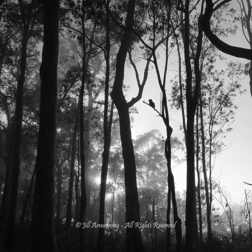 Kookaburra in the mist by Jill Armstrong