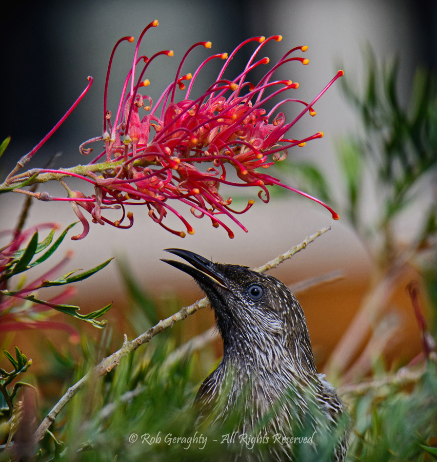 Little wattle bird by Rob Geraghty