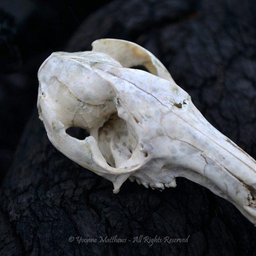 Skull by Yvonne Matthews