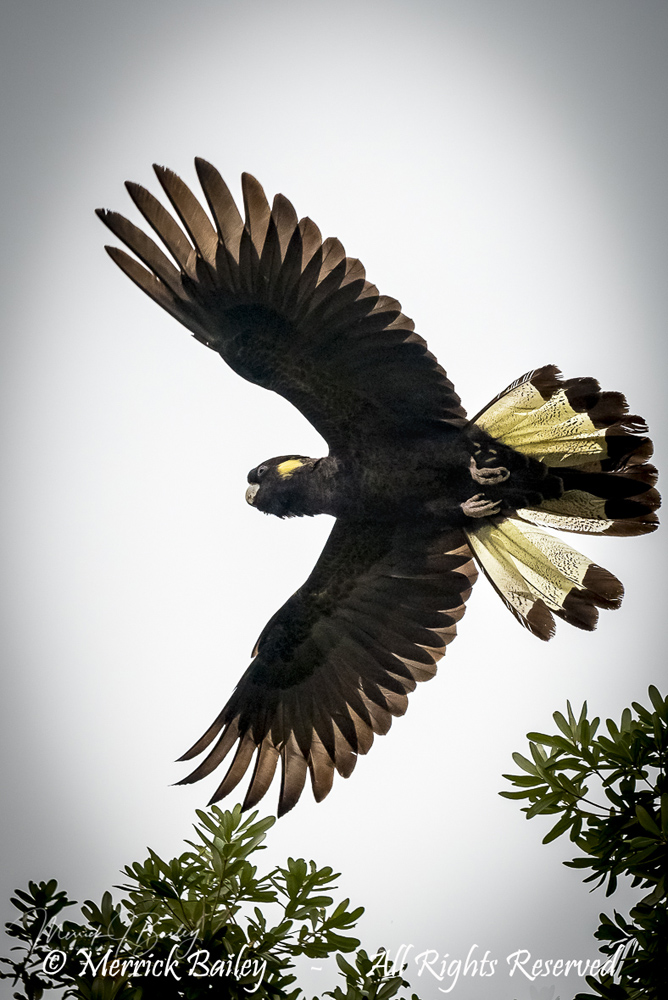 Yellow Tailed Black Cockatoo by Merrick Bailey