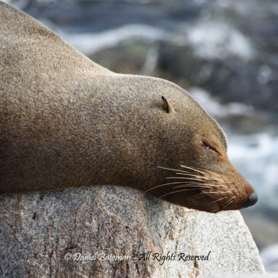 Sleepy Seal by Daniel Bateman