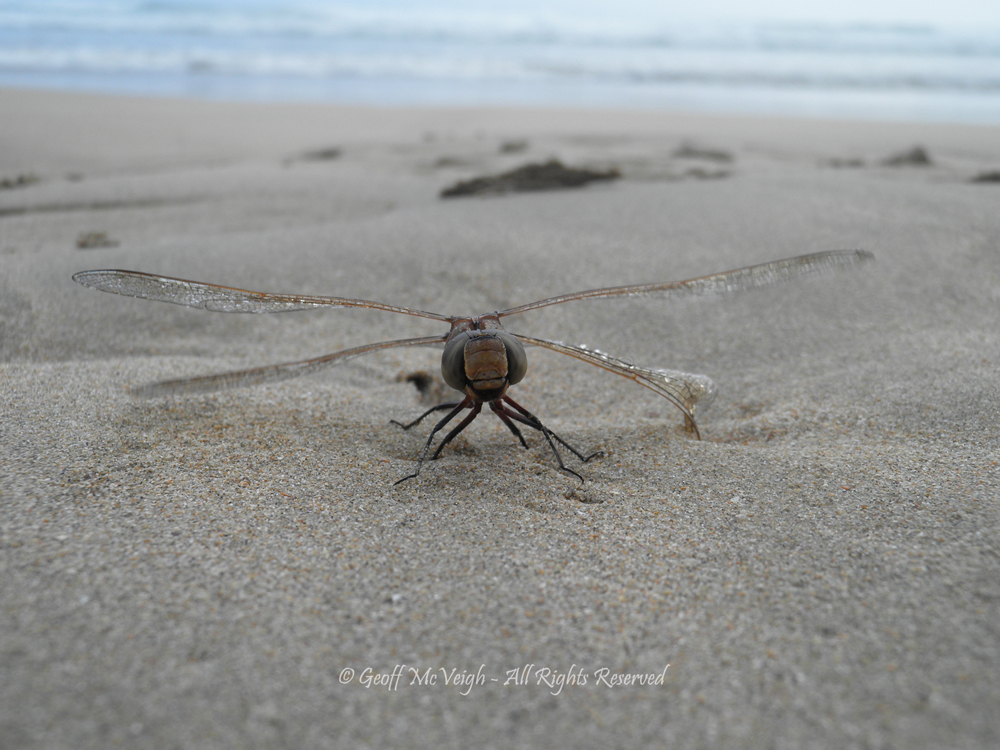 Dragonfly warming up for flight One ThouSAND at Broulee Beach by Geoff McVeigh