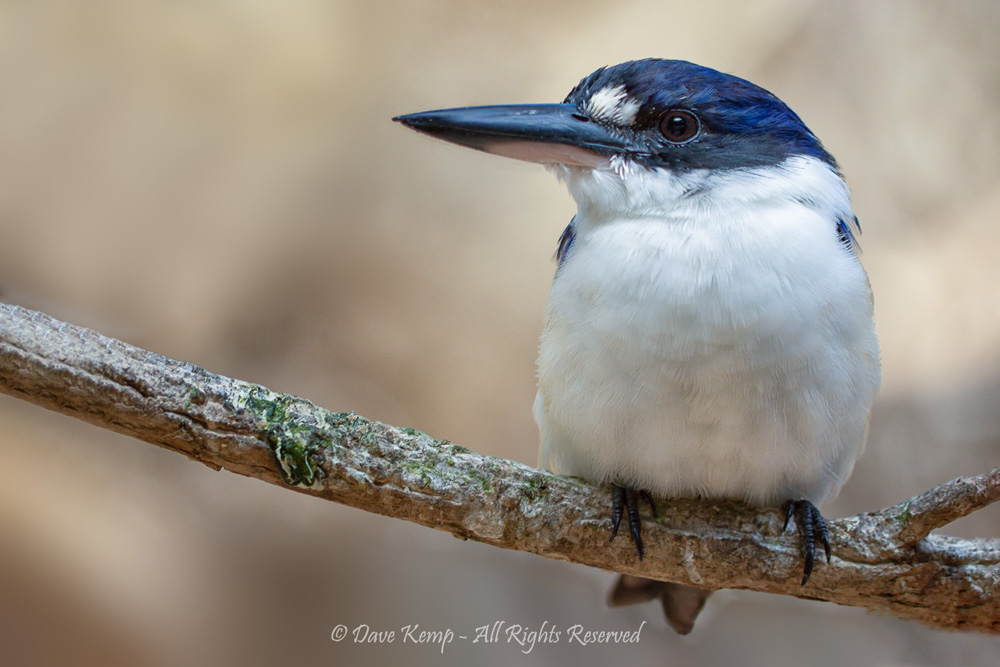 Forest Kingfisher by Dave Kemp