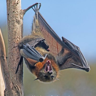 Grey-headed Flying Fox by Phil Warburton