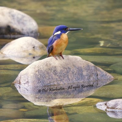 Kingfisher on a rock by Phil Warburton
