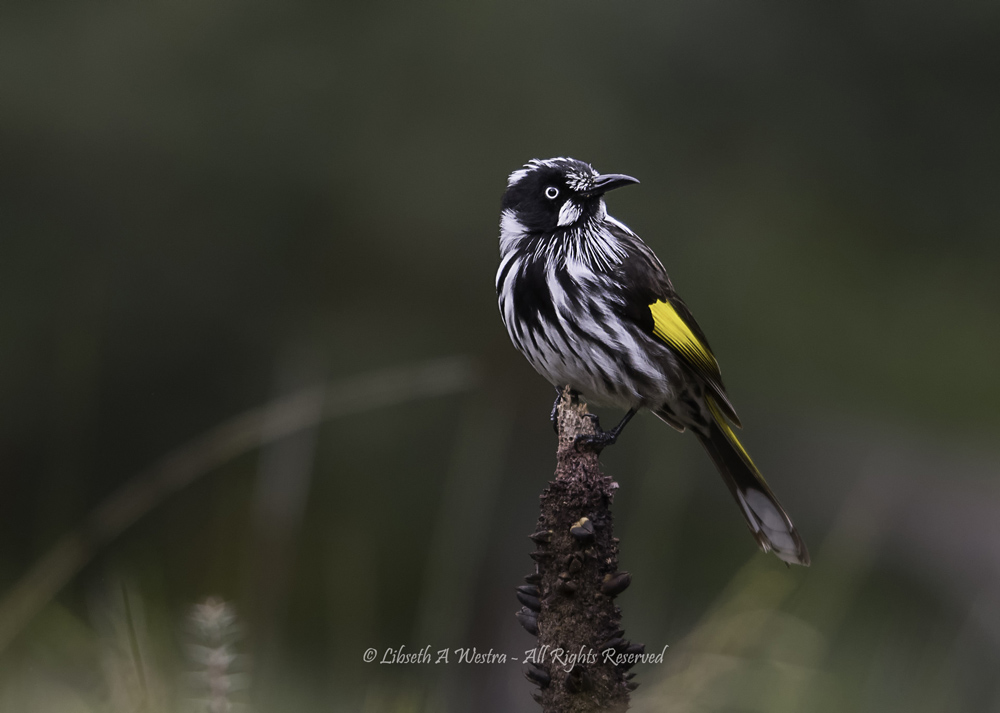 New Holland Honeyeater by Beth Westra