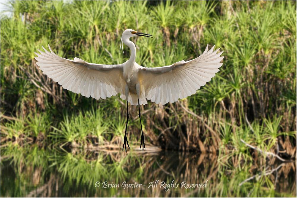 Dancing Egret by Brian Gunter - Members Choice