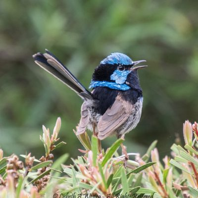 Superb-fairy Wren by Beth Westra