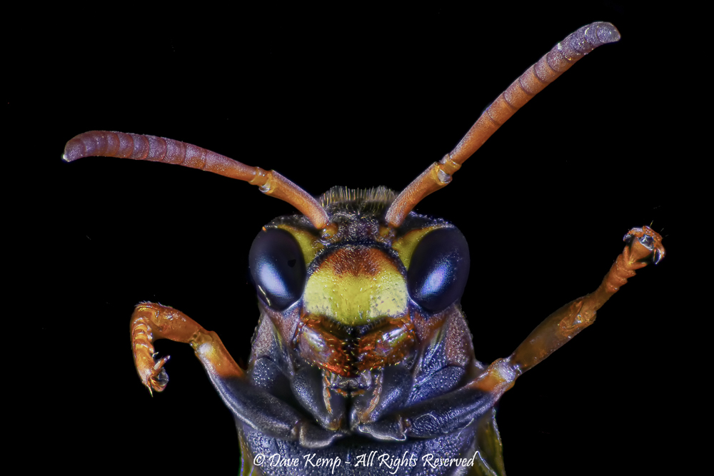Paper Wasp by Dave Kemp