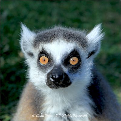 Ring Tailed Lemur by Colin Pass