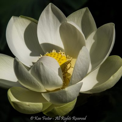 Water lily wonder by Ken Foster