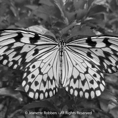 Butterfly by Jeanette Robben