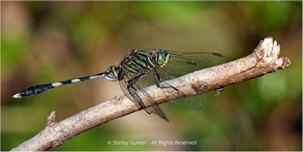 Dragon-fly by Shirley Gunter