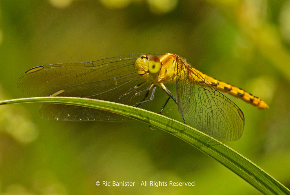 Dragonfly by Ric Banister