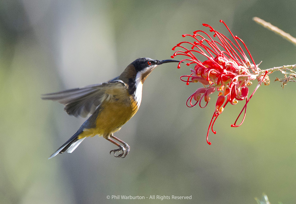Eastern Spinebill by Phil Warburton