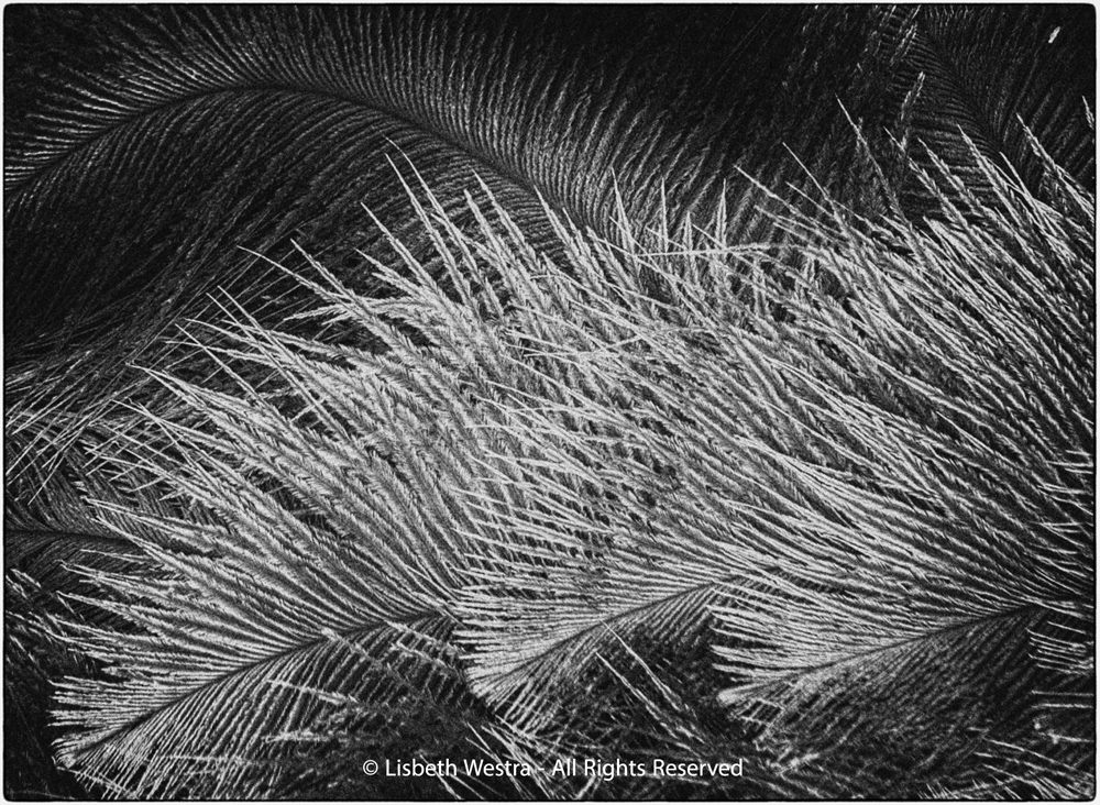 Feathers of an Ostrich by Lisbeth Westra
