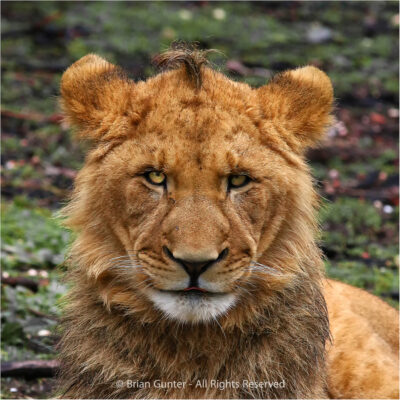 Little Leo by Brian Gunter