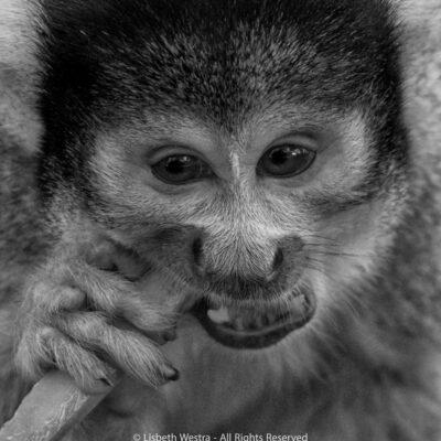 Squirrel monkey by Beth Westra