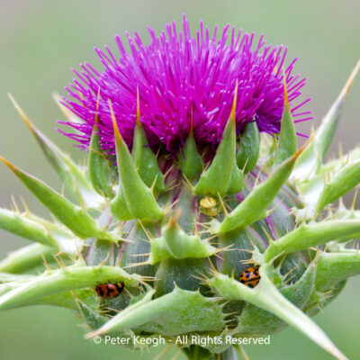 Thistle and friends by Peter Keogh
